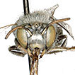 Stiff upper lip: Labrum deformity and functionality in bees (Hymenoptera, Apoidea)