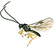 The genus <i>Nipponopius</i> Fischer (Hymenoptera, Braconidae, Opiinae) new for China, with description of a new species