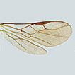First report of the genus Coeliniaspis ...