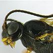 Ichneumonidae (Hymenoptera) associated ...