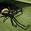 An alternative host of Hymenoepimecis ...