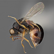 Revision of Canadian Eurytomidae (Hymenoptera, ...
