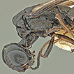 Additions to the xiphydriid woodwasp ...
