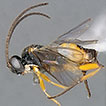 Cotesia icipe sp. n., a new Microgastrinae ...