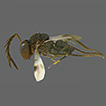 A new species of Hexacladia Ashmead (Hymenoptera, ...