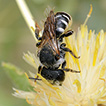 Biology of Palaearctic Wainia bees of ...