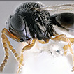 Trissolcus hyalinipennis Rajmohana & ...