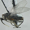 A new species of Anagyrus (Hymenoptera, ...
