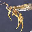 Synopsis of New World Sigalphinae (Hymenoptera, ...