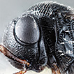 First detection of the samurai wasp, ...