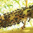 Bumble bees (Hymenoptera: Apidae: Bombus ...