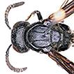 Three new species of the genus Zethus ...