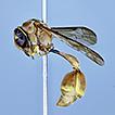 Two new species of Pirhosigma Giordani ...