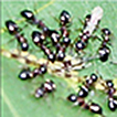 Alate gyne of the ant Dolichoderus quadripunctatus ...