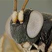 Phylogeny of the subfamilies of Ichneumonidae ...