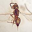 A new species of Baeomorpha (Hymenoptera, ...