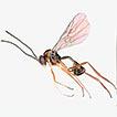 Hybrizon Fallén (Hymenoptera, Ichneumonidae,  ...