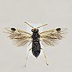 On the taxonomy of Heterarthrus (Hymenoptera, ...