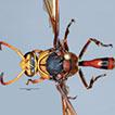 The Eumeninae (Hymenoptera, Vespidae) ...