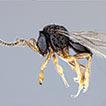 First report of Telenomus remus parasitizing ...