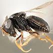Scelionidae (Hymenoptera) parasitizing ...