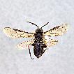 Taxonomic review of the genus Empria ...