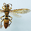 Taxonomic notes on the paper wasps of ...