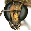 The first gynandromorph of the Neotropical ...