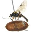 A new species of genus Rhinotorus Förster  ...