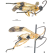Two new reared species of Heteropteron ...