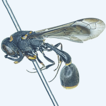 Potter wasps of the genus Labus (Hymenoptera, ...