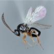 New records of Leptopilina, Ganaspis, ...