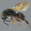 Amiseginae and Cleptinae from northeastern ...