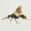 The velvet ant genus Pseudophotopsis ...