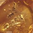Formica species (Hymenoptera, Formicidae, ...