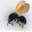 A new species of Eurytoma (Hymenoptera, ...