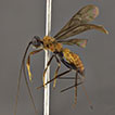 <i>Venifurca</i>, a new genus of neotropical Doryctinae (Hymenoptera: Braconidae), and its phylogenetic placement