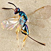 Insect species described by Karl-Johan Hedqvist