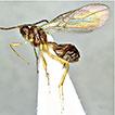 <i>Aspilota ajara</i> sp. n. (Hymenoptera, Braconidae, Alysiinae), the first species of the genus <i>Aspilota</i> Foerster from caves
