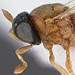Revision of New World <i>Helava</i> Masner &amp; Huggert (Platygastridae, Sceliotrachelinae)