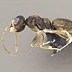 Ergatomorph wingless males in <i>Technomyrmex vitiensis</i> Mann, 1921 (Hymenoptera: Formicidae)