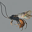Two new species of the genus <i>Rhorus</i> Förster, 1869 from Thailand (Hymenoptera, Ichneumonidae)