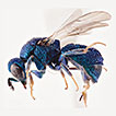 An unusual new species of <i>Hedychridium</i> Abeille from Africa