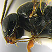 <i>Labilochus brevipalpis</i>, a new genus and species with extremely long mouthparts (Hymenoptera, Ichneumonidae, Tersilochinae) from Mexico