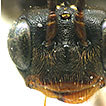 Contribution to the study of the genus <i>Stethantyx</i> Townes (Hymenoptera, Ichneumonidae, Tersilochinae), with the description of a new species from Brazil