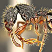 First confirmed record of the ant genus <i>Myrmecina</i> (Hymenoptera, Formicidae) from the Malay Peninsula: description of a new species and a key to <i>Myrmecina</i> species from Sundaland
